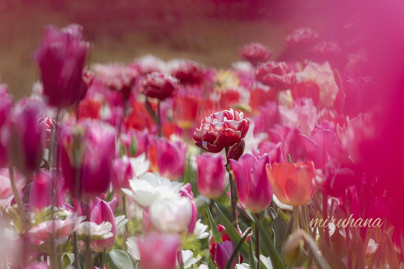 花菜ガーデン4/10から当面休園です_c0037519_01095651.jpg