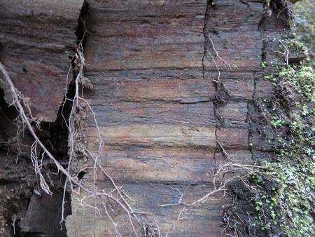 ツキノワグマ爪痕の樹とキツネの糞【台高】4/4_d0387443_09291338.jpg