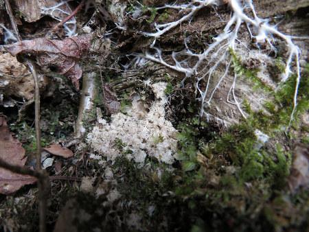 ツキノワグマ爪痕の樹とキツネの糞【台高】4/4_d0387443_09330087.jpg