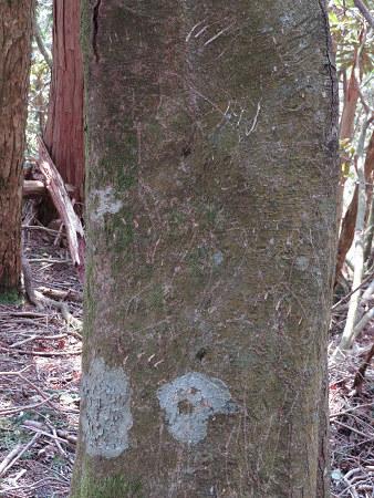 ツキノワグマ爪痕の樹とキツネの糞【台高】4/4_d0387443_09331574.jpg
