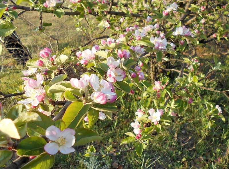 リンゴの花とサクランボの花_d0153860_13153736.jpg