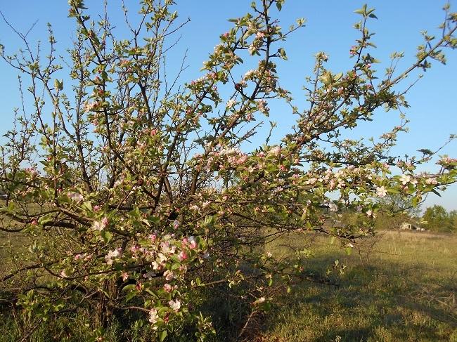 リンゴの花とサクランボの花_d0153860_13155064.jpg