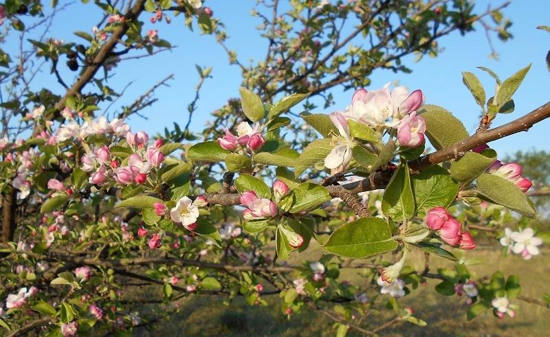 リンゴの花とサクランボの花_d0153860_13160537.jpg