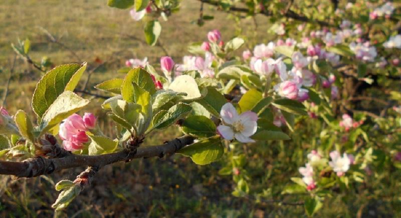 リンゴの花とサクランボの花_d0153860_13161403.jpg
