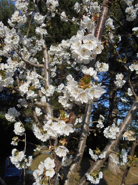 リンゴの花とサクランボの花_d0153860_13163706.jpg