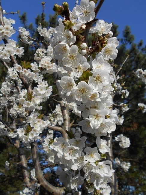 リンゴの花とサクランボの花_d0153860_13164523.jpg