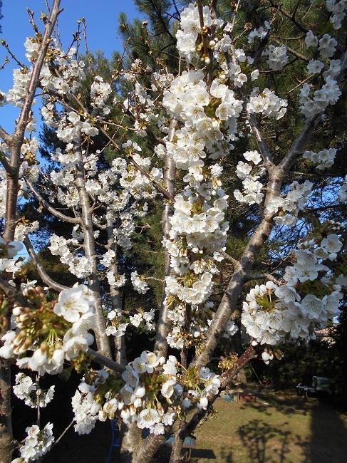 リンゴの花とサクランボの花_d0153860_13165463.jpg