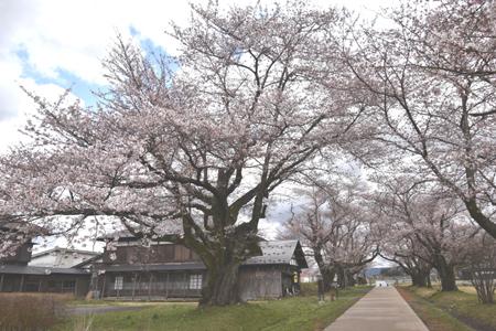 桜 さく_f0168873_15414376.jpg