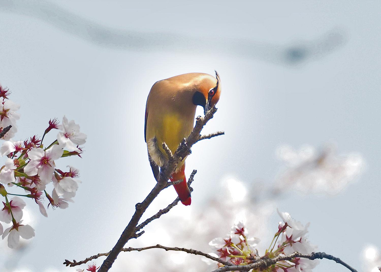 桜レンジヤク_e0254493_1855234.jpg