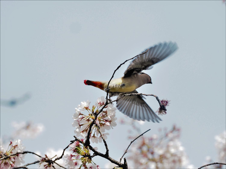 桜レンジヤク_e0254493_1861183.jpg