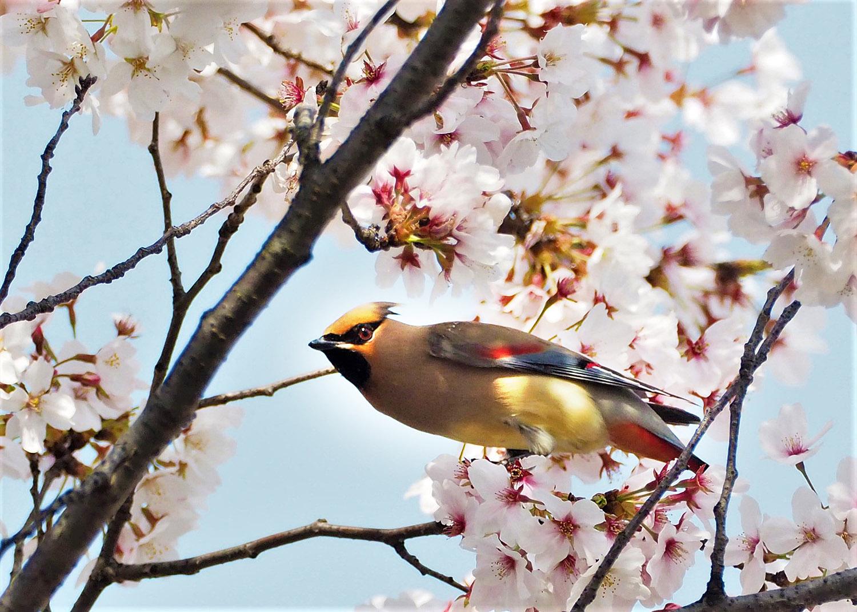 桜レンジヤク_e0254493_1862572.jpg