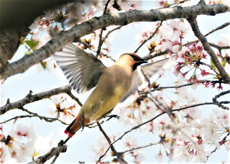 桜レンジヤク_e0254493_1864622.jpg