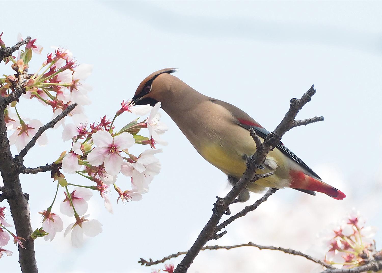 桜レンジヤク_e0254493_1872422.jpg
