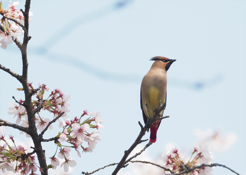 桜レンジヤク_e0254493_187539.jpg