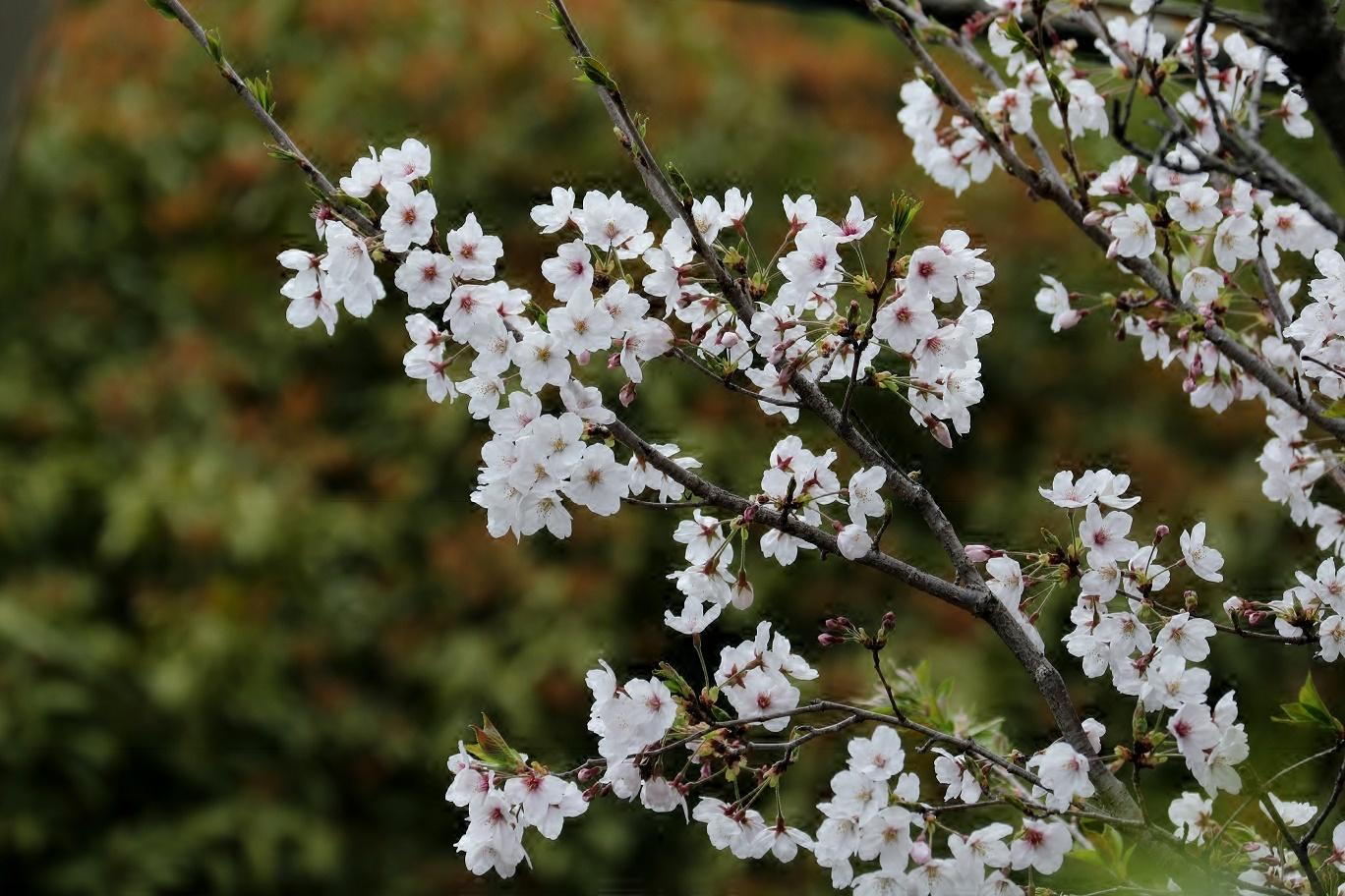 庭の春     <   桜にメジロ   >_a0140000_15195617.jpg
