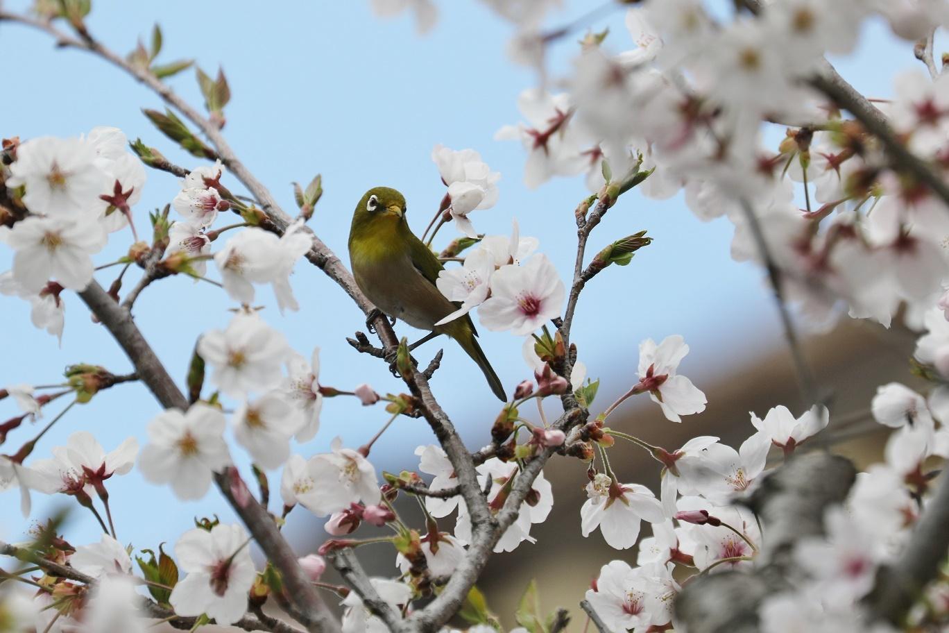 庭の春     <   桜にメジロ   >_a0140000_15202847.jpg