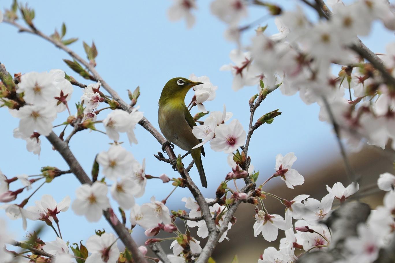 庭の春     <   桜にメジロ   >_a0140000_15205672.jpg