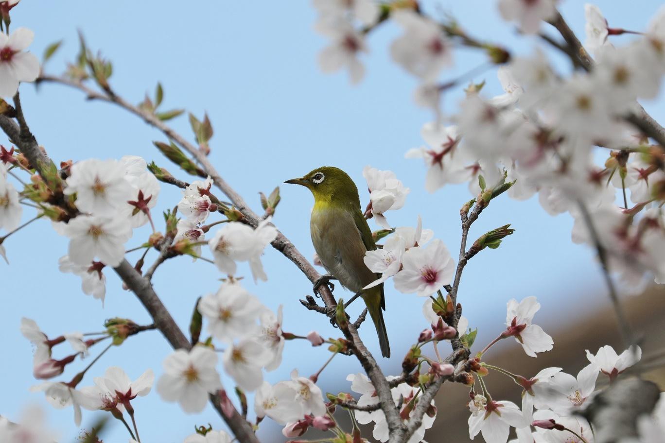 庭の春     <   桜にメジロ   >_a0140000_15212688.jpg
