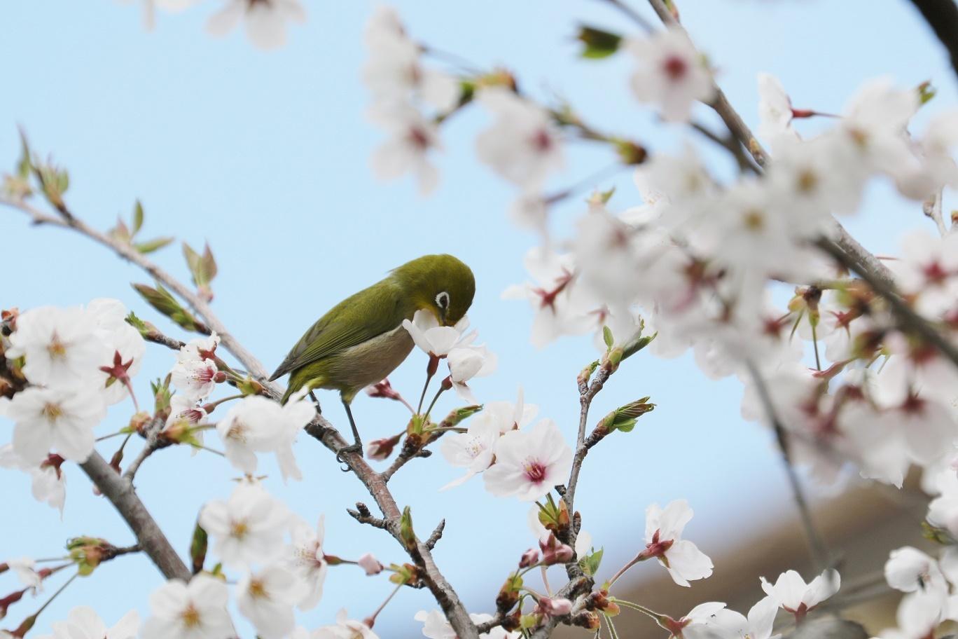 庭の春     <   桜にメジロ   >_a0140000_15215772.jpg