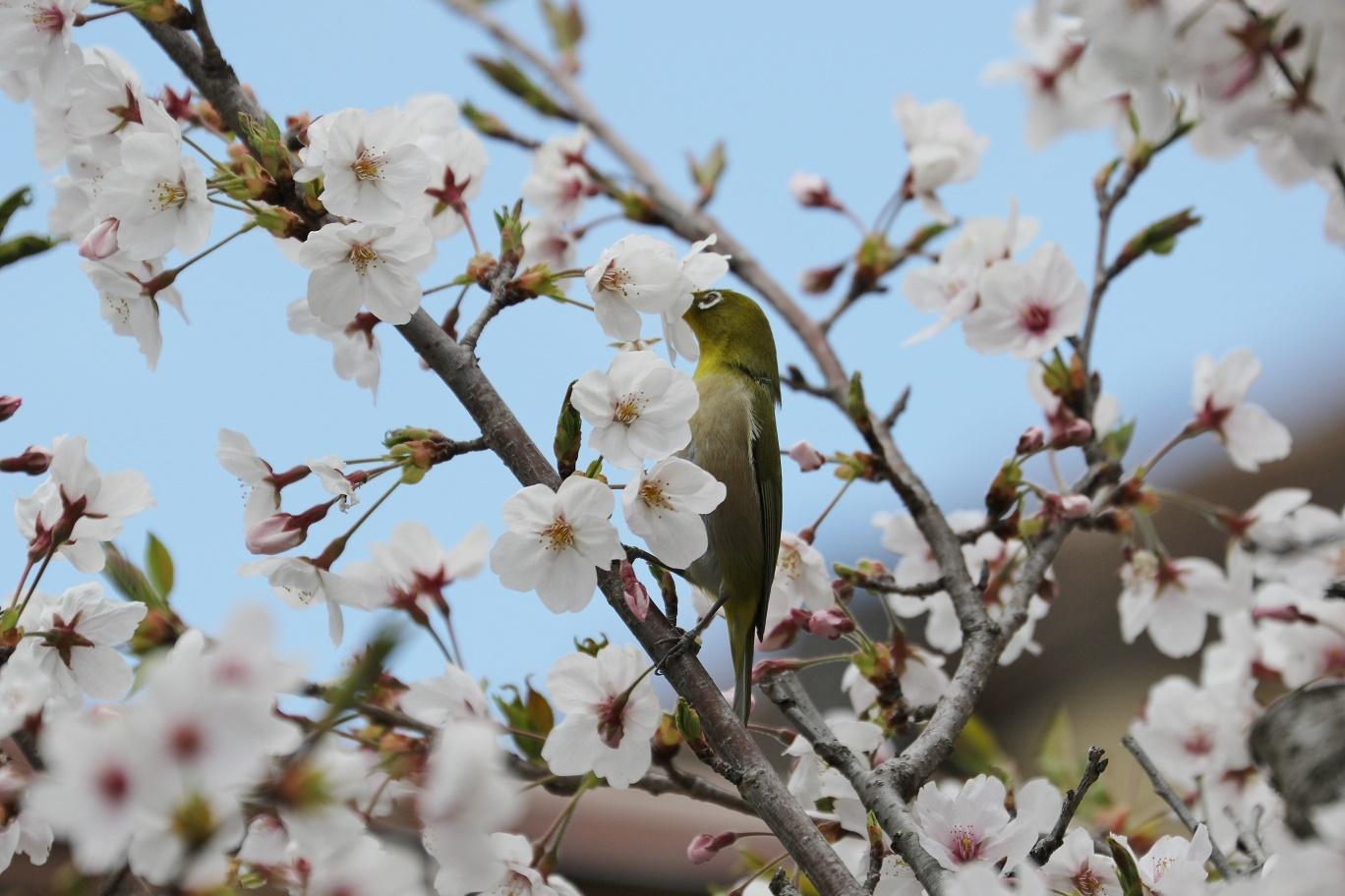 庭の春     <   桜にメジロ   >_a0140000_15222868.jpg