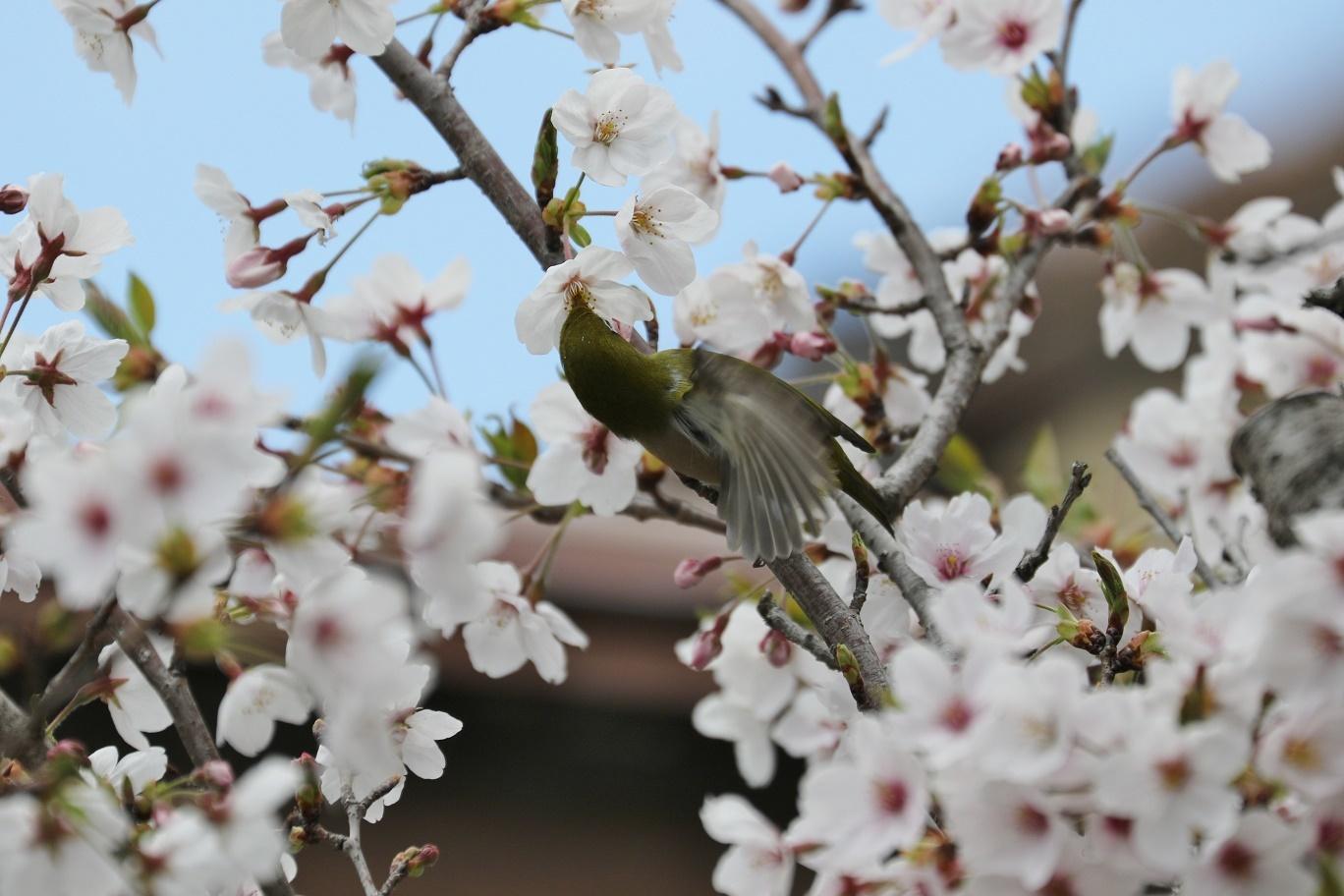 庭の春     <   桜にメジロ   >_a0140000_15230963.jpg