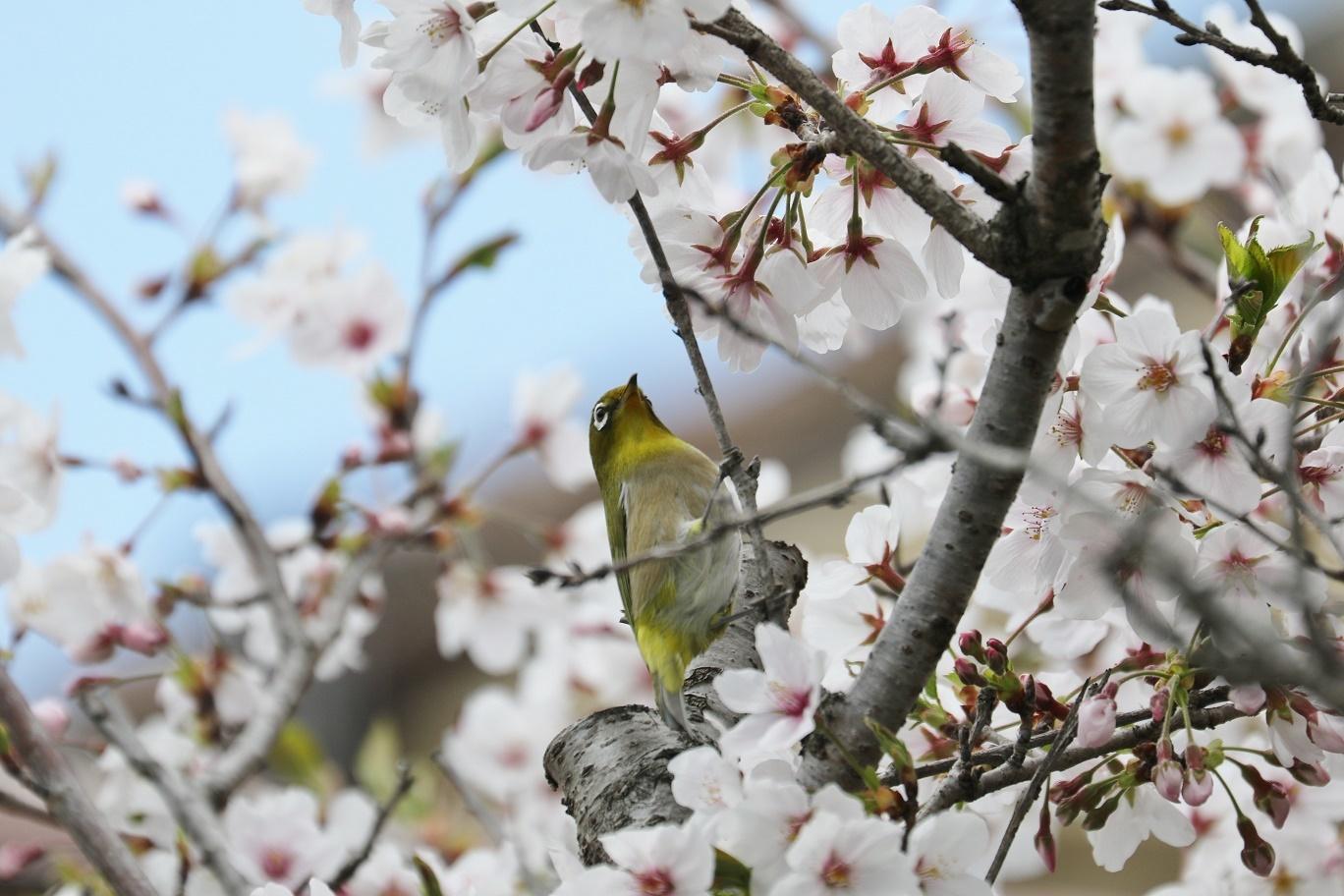 庭の春     <   桜にメジロ   >_a0140000_15233646.jpg