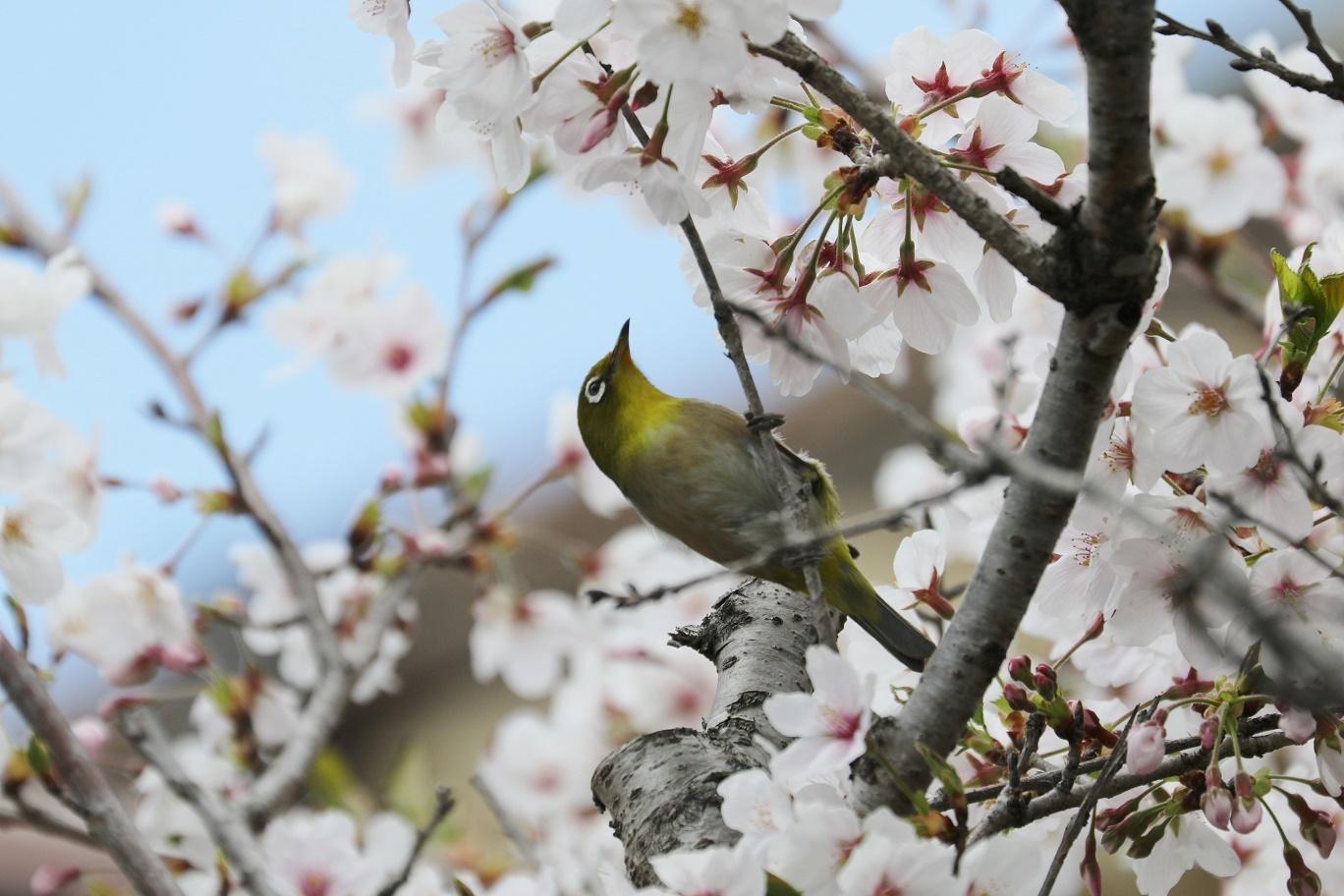 庭の春     <   桜にメジロ   >_a0140000_15241822.jpg