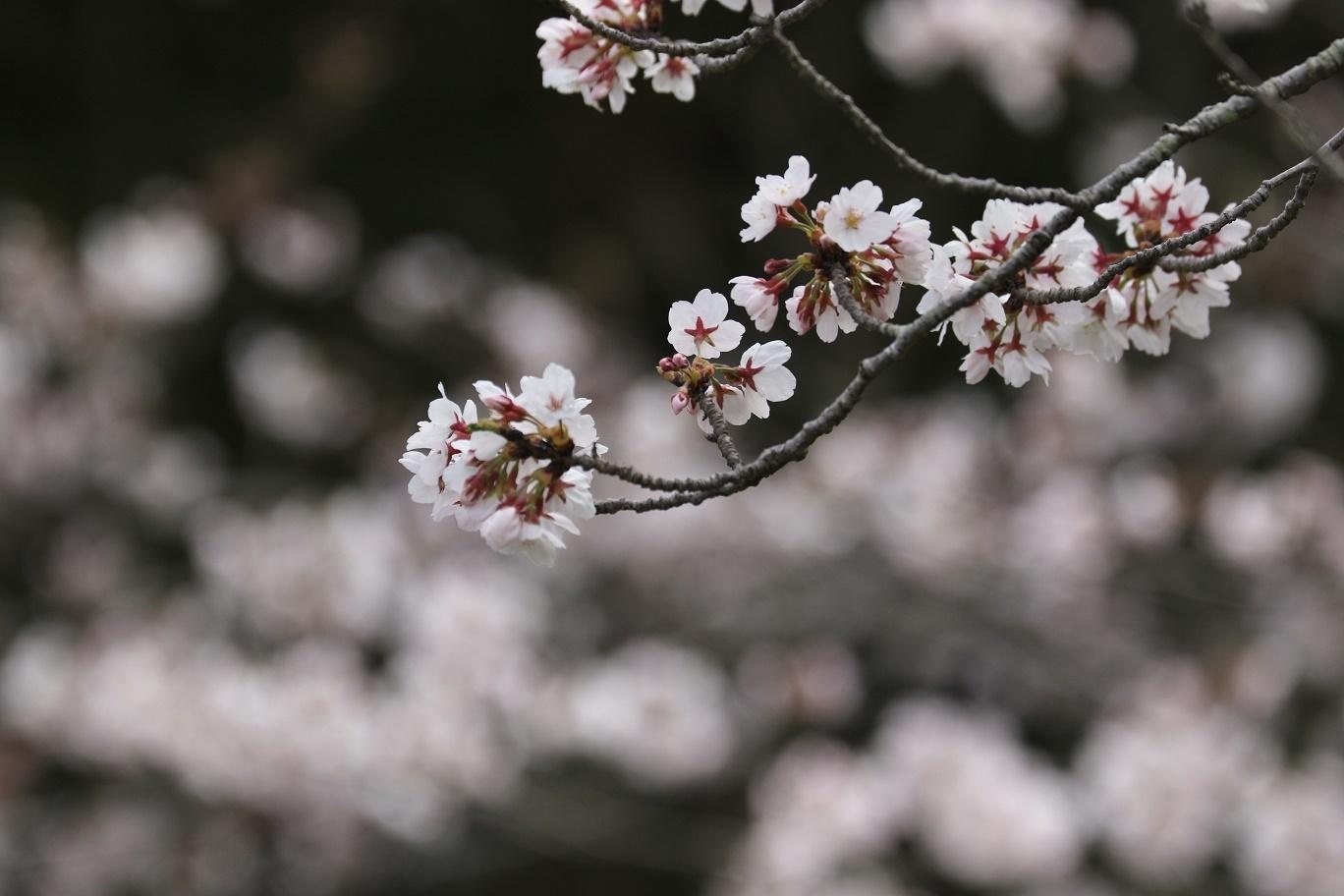 庭の春     <   桜にメジロ   >_a0140000_15250285.jpg