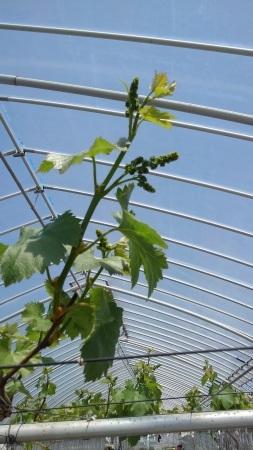 ぶどうの芽かきをしています。_d0026905_12335544.jpg