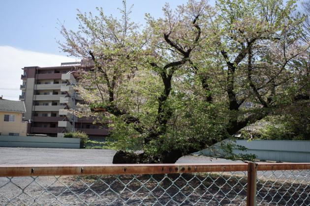 04.11 空き地の桜も終わる_a0390712_08560553.jpg
