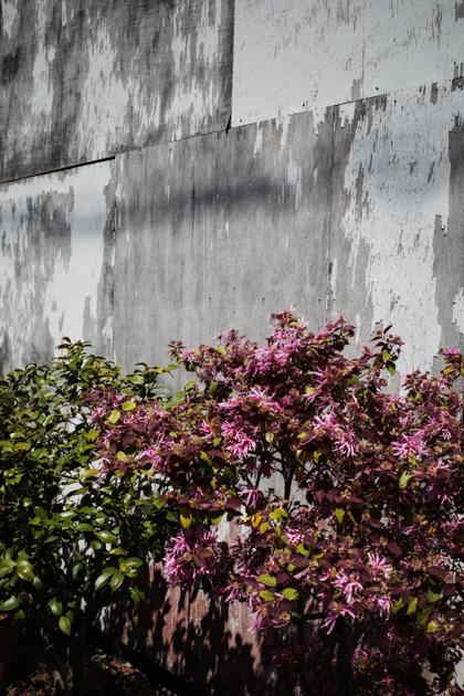 04.11 空き地の桜も終わる_a0390712_09001915.jpg