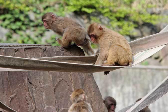 元気はつらつ!ニホンザルの子供たち(多摩動物公園 May 2019)_b0355317_21080331.jpg