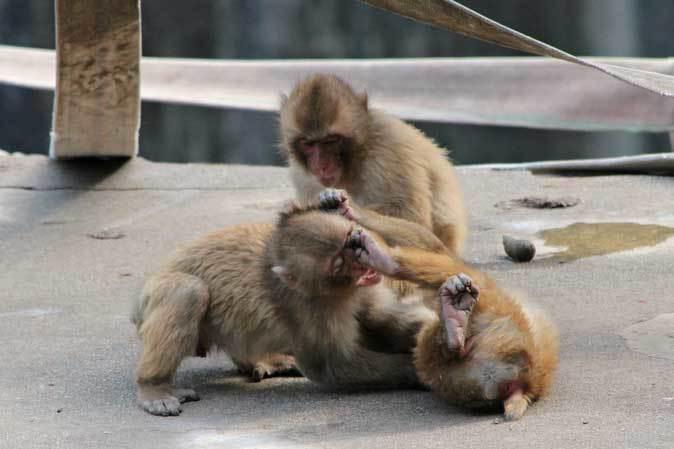 元気はつらつ!ニホンザルの子供たち(多摩動物公園 May 2019)_b0355317_21082097.jpg