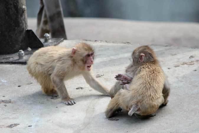 元気はつらつ!ニホンザルの子供たち(多摩動物公園 May 2019)_b0355317_21095629.jpg