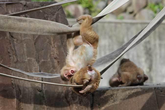 元気はつらつ!ニホンザルの子供たち(多摩動物公園 May 2019)_b0355317_21103650.jpg