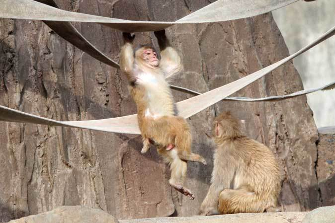 元気はつらつ!ニホンザルの子供たち(多摩動物公園 May 2019)_b0355317_21111656.jpg
