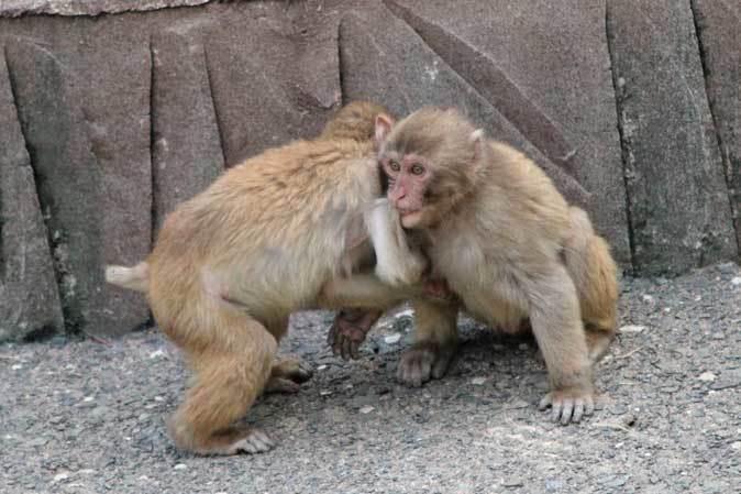 元気はつらつ!ニホンザルの子供たち(多摩動物公園 May 2019)_b0355317_21131994.jpg