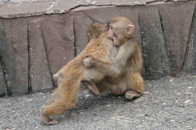 元気はつらつ!ニホンザルの子供たち(多摩動物公園 May 2019)_b0355317_21134606.jpg