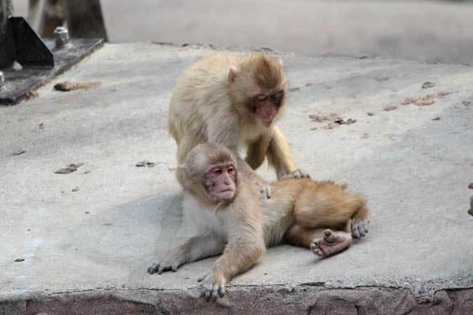 元気はつらつ!ニホンザルの子供たち(多摩動物公園 May 2019)_b0355317_21141615.jpg