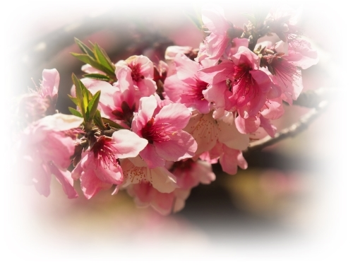 桃の花咲く吉備路_c0026824_14231005.jpg