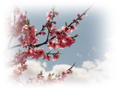 桃の花咲く吉備路_c0026824_14385200.jpg