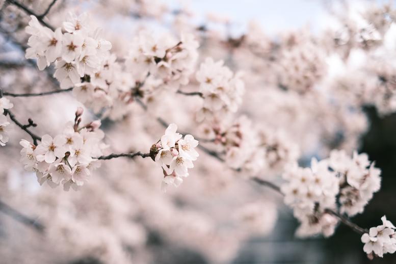 covid-19終息を祈る桜_f0265234_21570342.jpg