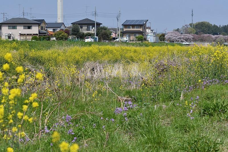 小畔川便り(ギンイチ初見:2020/4/4.6.8)_f0031682_09494919.jpg