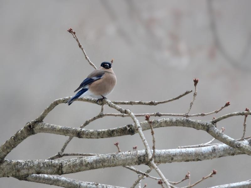 4月初めの降雪とウソ(雌)たち_a0204089_2194236.jpg