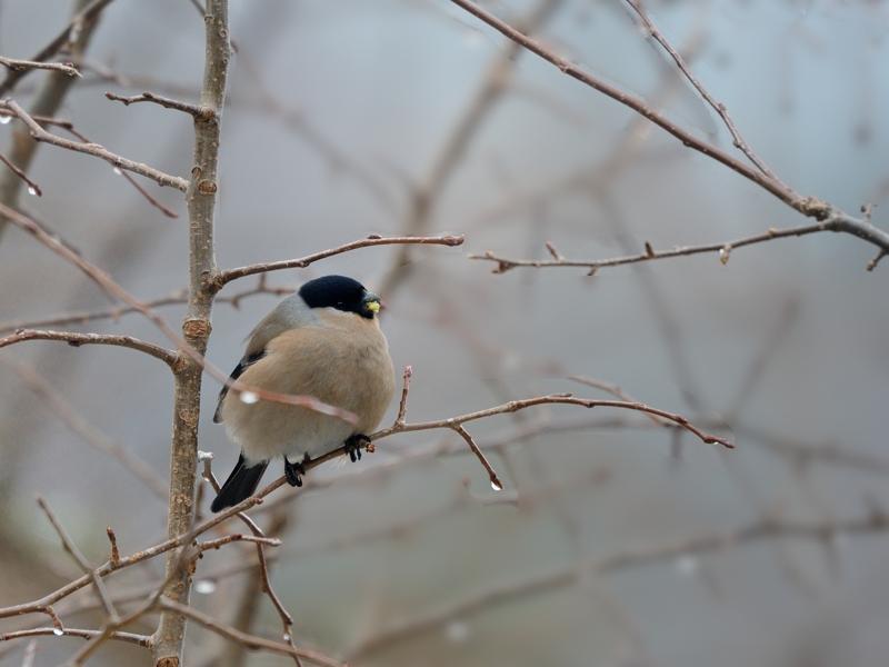 4月初めの降雪とウソ(雌)たち_a0204089_2195775.jpg