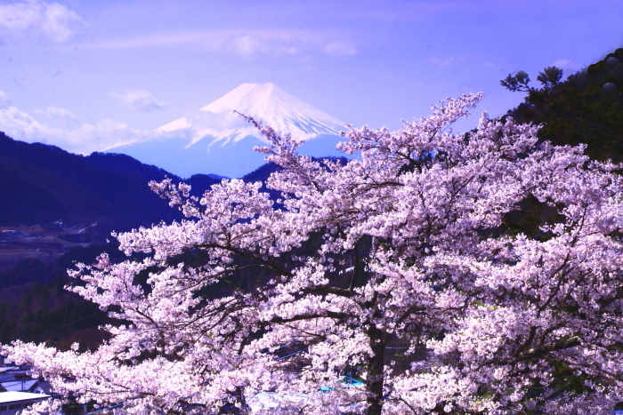 令和2年4月の富士 (3) 真木の桜と富士_e0344396_13101151.jpg