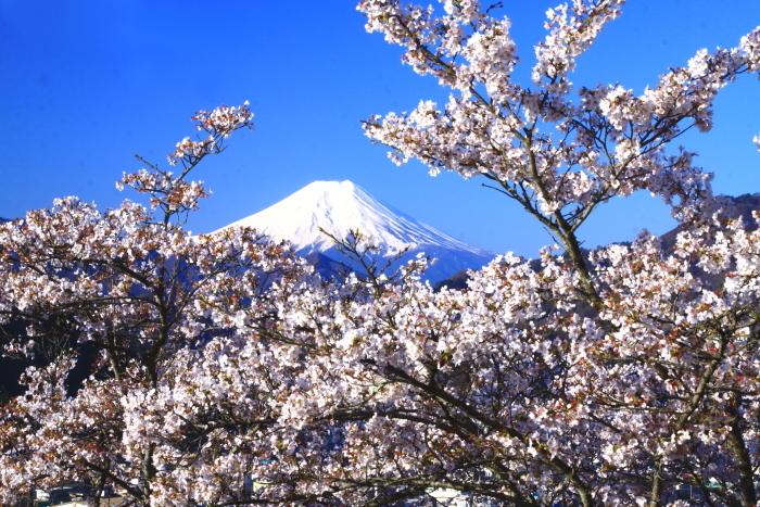 令和2年4月の富士 (4) 岩殿山の桜と富士_e0344396_20481980.jpg