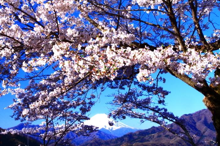 令和2年4月の富士 (4) 岩殿山の桜と富士_e0344396_20482043.jpg