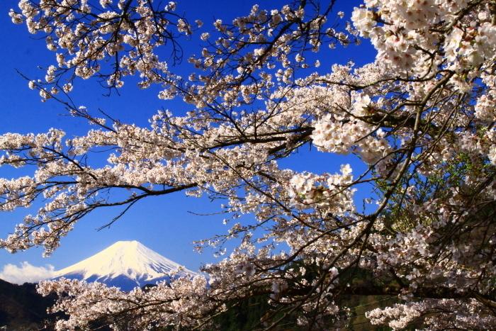 令和2年4月の富士 (5) 真木福正寺の桜と富士_e0344396_22050743.jpg
