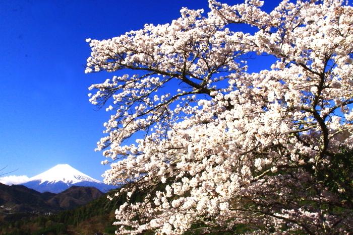 令和2年4月の富士 (5) 真木福正寺の桜と富士_e0344396_22050744.jpg